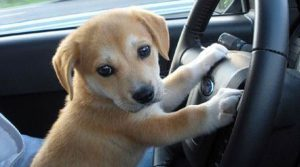 Puppy driving car